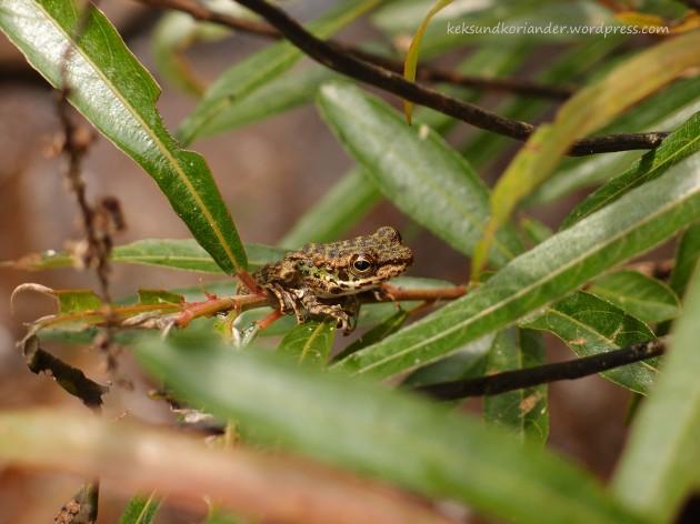 Frosch Khao Sok National Park Wanderung Thailand