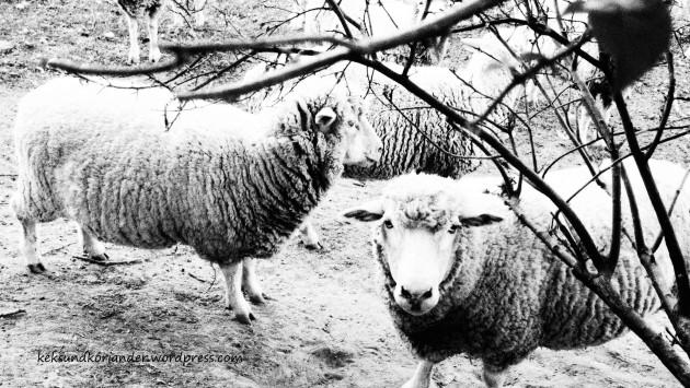 Schafe Oudtshoorn Südafrika