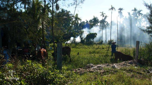 Hoi An Vietnam Umgebung Umland Büffel