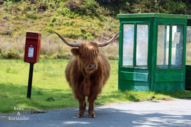 Highlandkuh Schottland Telefonzelle Kuh mit Pony